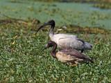 Australian White Ibis and imm. Magpie Goose