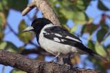 Adult Pied Butcherbird