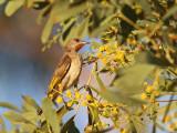 Rufous throated Honeyeater