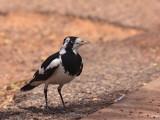 Female Magpie-lark