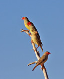 Adult & Imm. Star Finches