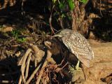 Juv.Nankeen Night Heron