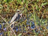 Black-faced Cuckoo-shrike,imm.