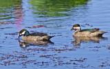 Green Pymy -geese