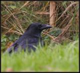 Kraai  - Carrion Crow