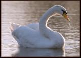 Zwaan - Mute Swan