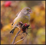 Groenling - Greenfinch
