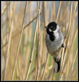 Rietgors -  Reed Bunting