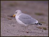 Zilvermeeuw - Herring Gull