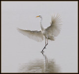 Grote Zilver Reiger - Great White Egret