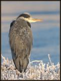 Blauwe Reiger - Grey Heron
