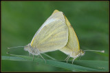 Klein Gearderd Witje - Green-veined White
