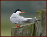 Visdief - Common Tern