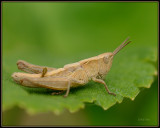 Krasser -  Meadow grasshopper