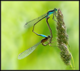 Variabele Waterjuffer -  Variable Damselfly