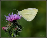Klein Koolwitje -  Small White