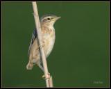 Rietzanger - Sedge Warbler