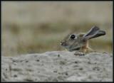 Konijn - Rabbit