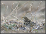 Graspieper - Meadow Pipit