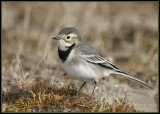 Kwikstaart - White Wagtail