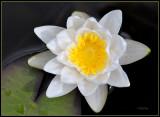 Waterlelie - Waterlily