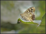 Bont zandoogje - Speckled wood