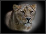 Lion Zoo Rotterdam
