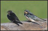 Boerenzwaluw - Swallow