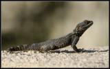Hardoen - Agama Lizard