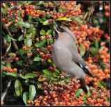 Pestvogel - Bohemian Waxwing