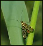 Schorpioenvlieg - Common scorpionfly