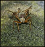 Gewone snipvlieg - Downlooker-fly