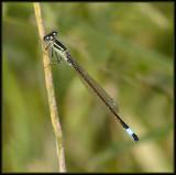 Lantaarntje - Blue Tailed  Damselfly