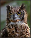 Oehoe  Havik  Falcon
