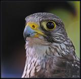 Valk  -  Falcon