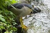 Bihorau Gris - Black Crowned Night-Heron - 002