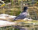 Guifetes Noire - Black Terns