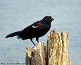 Carouge - Red Winged Blackbird