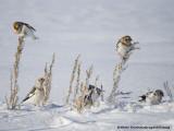 Bruants des Neiges - Snow Bunting 001