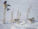 Bruants des Neiges - Snow Bunting 003