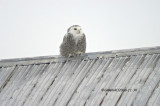 Harfang des Neiges - Snowy Owl 001