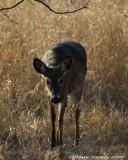 Chevreuils - Deers