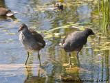 Poules deau - Common Moorhens