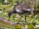 Poule deau - Common Moorhen