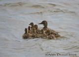 Canards Colvert - Mallard Ducks