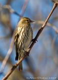 Tarin des Pins - Pine Siskin