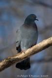 Pigeon Biset - Rock Dove