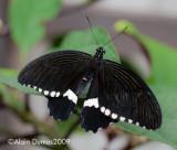 Papilio Polytes 001