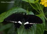 Calogo Eurolochus 002