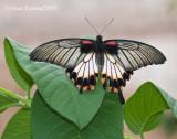 Papilio Memmon 002